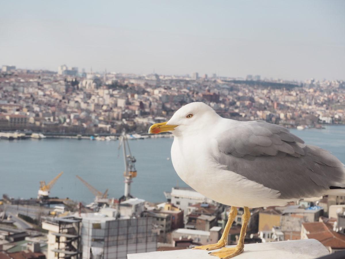 イスタンブールのガラタ塔で海鳥と