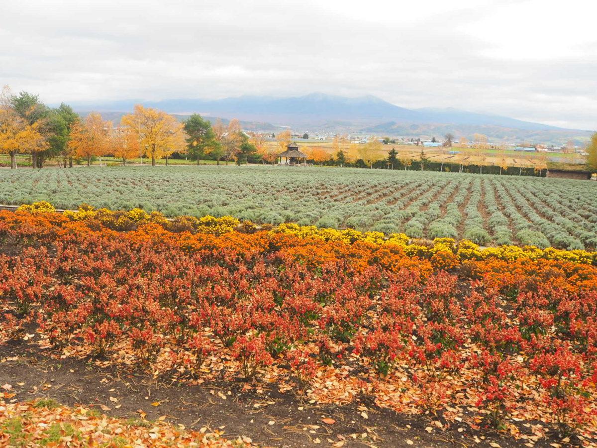 秋のファーム富田の花